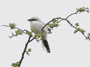 Great-Grey-Shrike-1-Jimmy-Steele-gallery