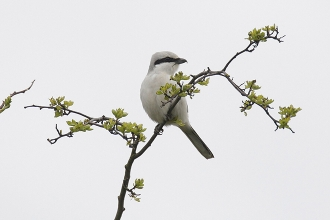 Great-Grey-Shrike-2-Jimmy-Steele-gallery