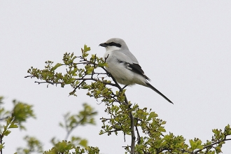 Great-Grey-Shrike-3-Jimmy-Steele-gallery