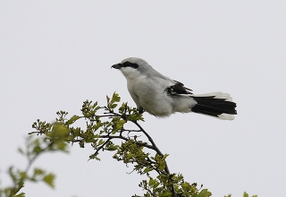 Great-Grey-Shrike-5-Jimmy-Steele-gallery