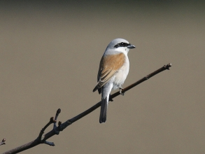 Red-backed-Shrike-1-Jimmy-Steele-gallery