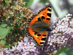 Small-Tortoiseshell-Hector-Galley-photo1