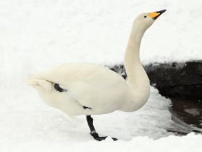 Whooper-Swan-4-AB-01-13