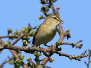 willow warbler Spital