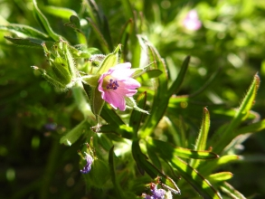 Cut-leaved Cranesbill