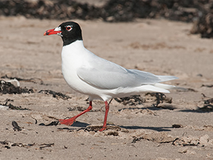 A Mediterranean Gull from Newbiggin in Northumberland